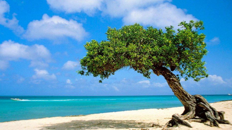 Imagem da arvore Divi divi Tree de Aruba